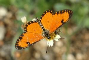 Acraea butterfly on bidens flower by D. J. Martins