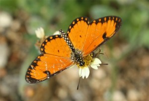 Acraea butterfly on bidens flower by D. J. Martins