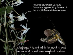 Fulvous hawkmoth by D. J. Martins