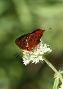 Common Scarlet butterfly, Axiocerses sp. sips nectar by by D. J. Martins
