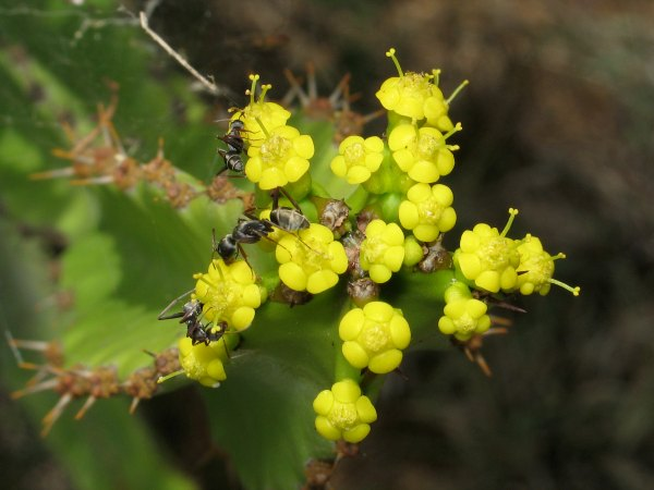 Camponotus ants foraging on euphorbia flowers by D. J. Martins