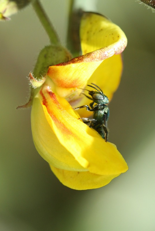Small carpenter bee Ceratina sp. on Pigeonpea by D. J. Martins