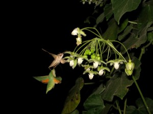 Verdent hawkmoths and White-lined Sphinx on Pergularia flowers by D. J. Martins