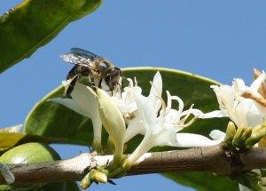 Honeybee pollinating coffee by D.J. Martins