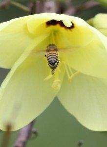 Honeybee visiting Bauhinia by D.J. Martins