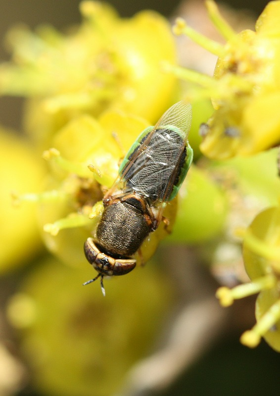 Soldier fly on euphorbia by D. J. Martins