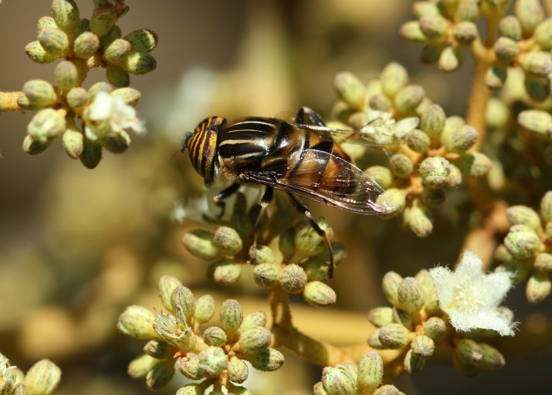 Hoverfly on Harungana madagascariensis by D. J. Martins
