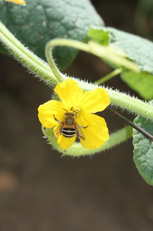 Amegilla bee on cucumber by D. J. Martins