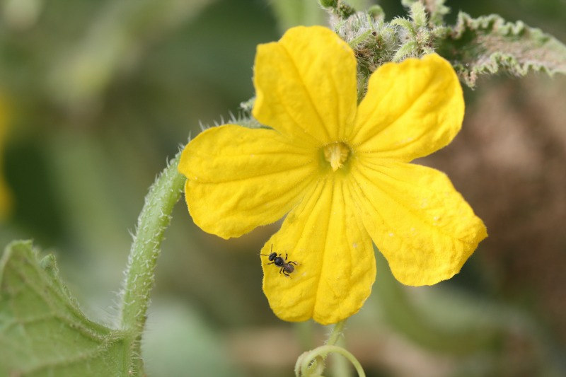 Stingless bee on cucumber by D. J. Martins