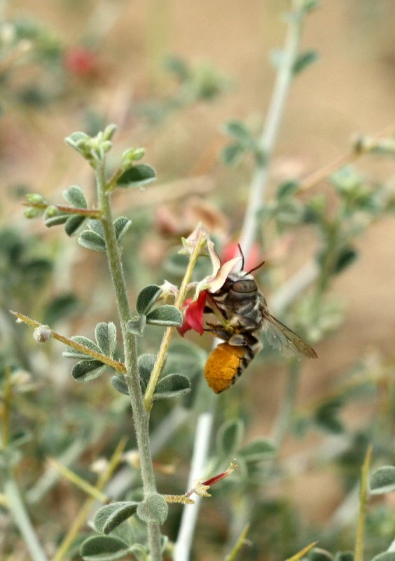 Leafcutter bee pollinating Indigofera spinosa by D. J. Martins