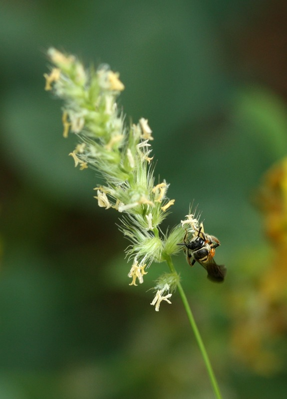 Lipotriches bee gathering pollen from Buffel grass by D. J. Martins