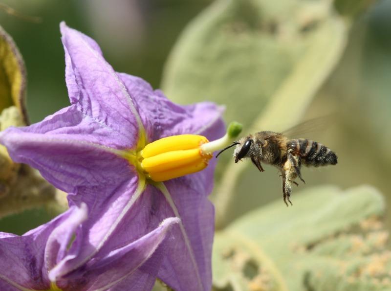 Nomia sp. approaches Solanum sp. by D. J. Martins