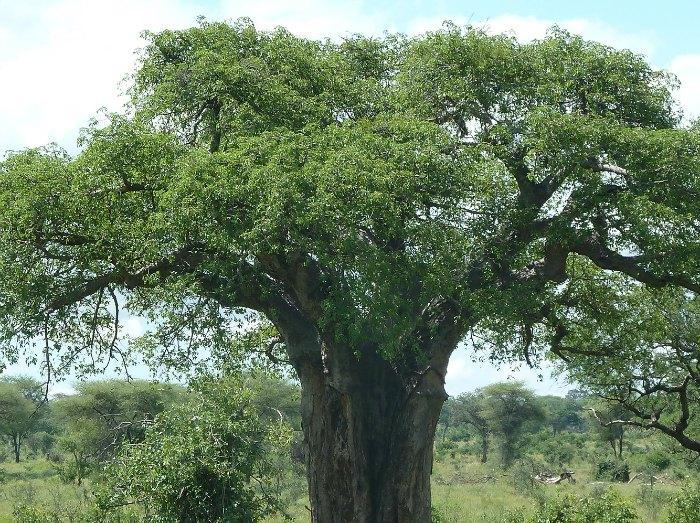 Baobab tree by D. J. Martins
