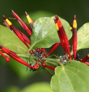 Polyrachis ants by D. J. Martins