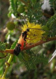 Parasitic wasp on Acacia seyal flower by D. J. Martins
