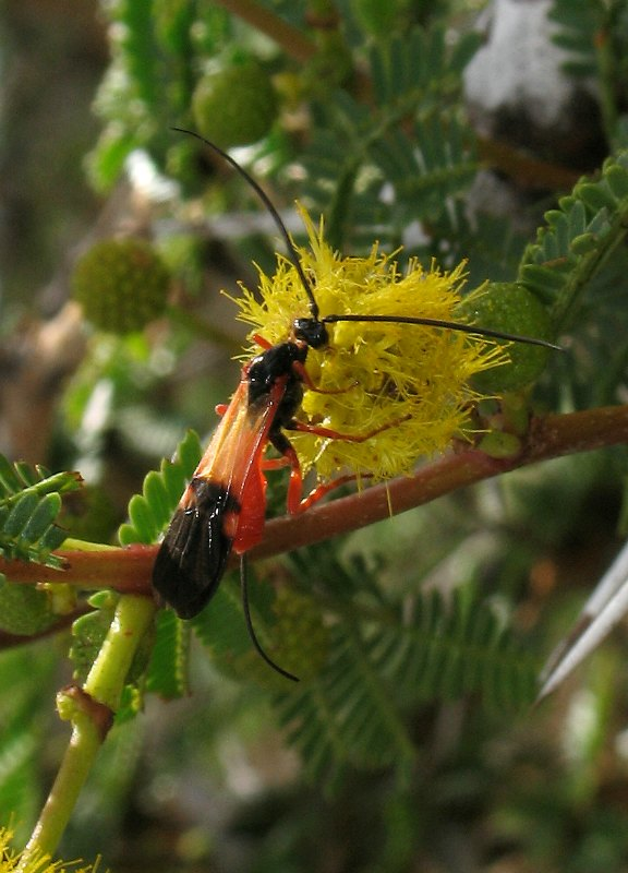Parasitic wasp on Acacia seyal flower by D. J. Martins