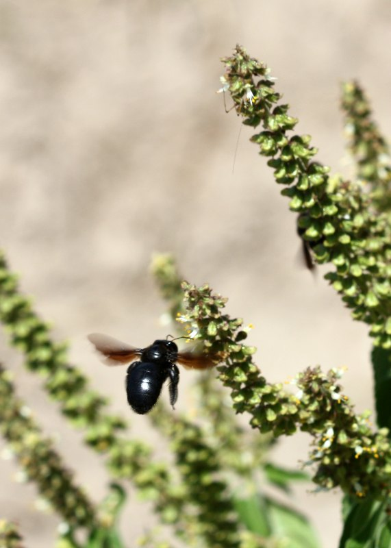Carpenter bee approaching wild basil (Ocimum sp.) by D. J. Martins