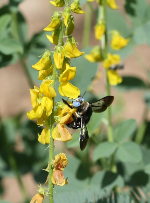 Blue-eyed carpenter bee on Crotolaria sp. by D. J. Martins