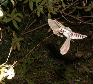 Convolvulus hawkmoth visiting flowers of Turraea sp. by D. J. Martins