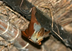 Yellow-winged bat at rest by D. J. Martins.