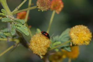 Leaf beetle on acacia flower by D. J. Martins