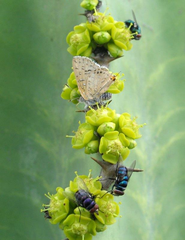 Blue bottle chloroselas flies and Tiny Gem butterfly by D. J. Martins