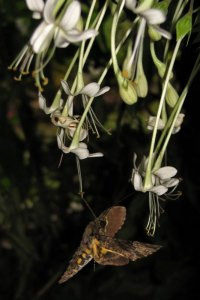 Fulvous hawkmoth at Combretum flowers by D. J. Martins