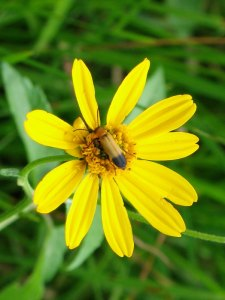Small longhorn beetle (Cerambycidae) on wild daisy by D. J. Martins