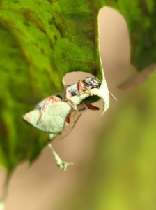 Leafcutter bee cutting leaf-circles by D. J. Martins
