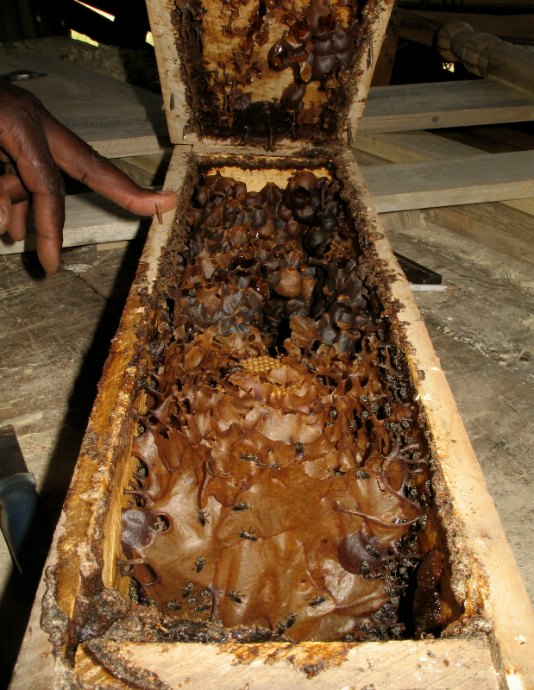Inside the nest of stingless bee Meliponula ferruginea Stingless bee hives at Kakamega Forest by D.J. Martins