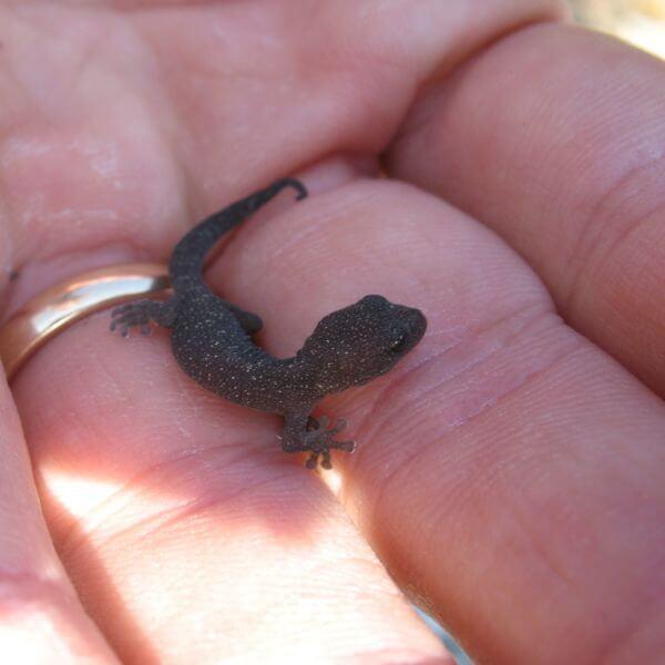 Tarantolino Gecko in Porto Venere Regional Nature Park