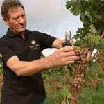 Grape harvest in Liguria. Cantine Federici winery near Portovenere