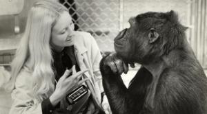 koko-a-talking-gorilla