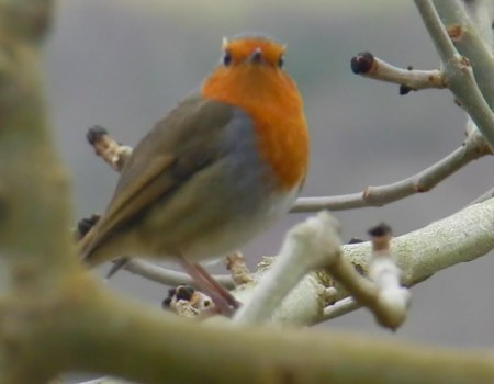 Winter Wildlife on the River Tweed