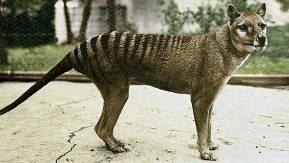 """Résultat de recherche d'images pour """"Thylacine"""""""