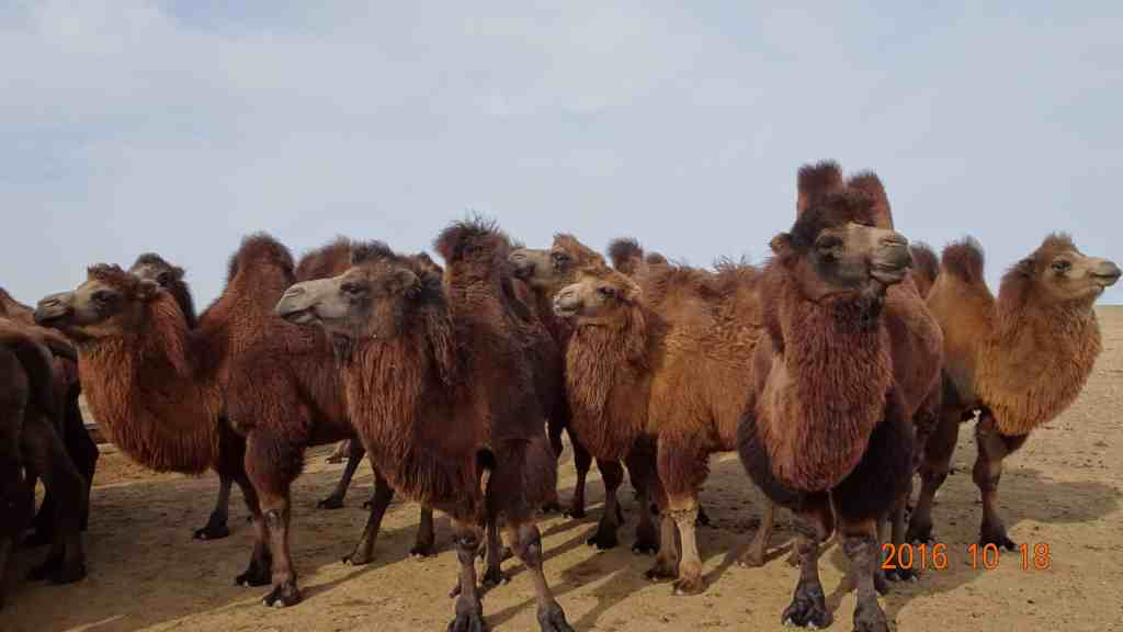 Camels on the way