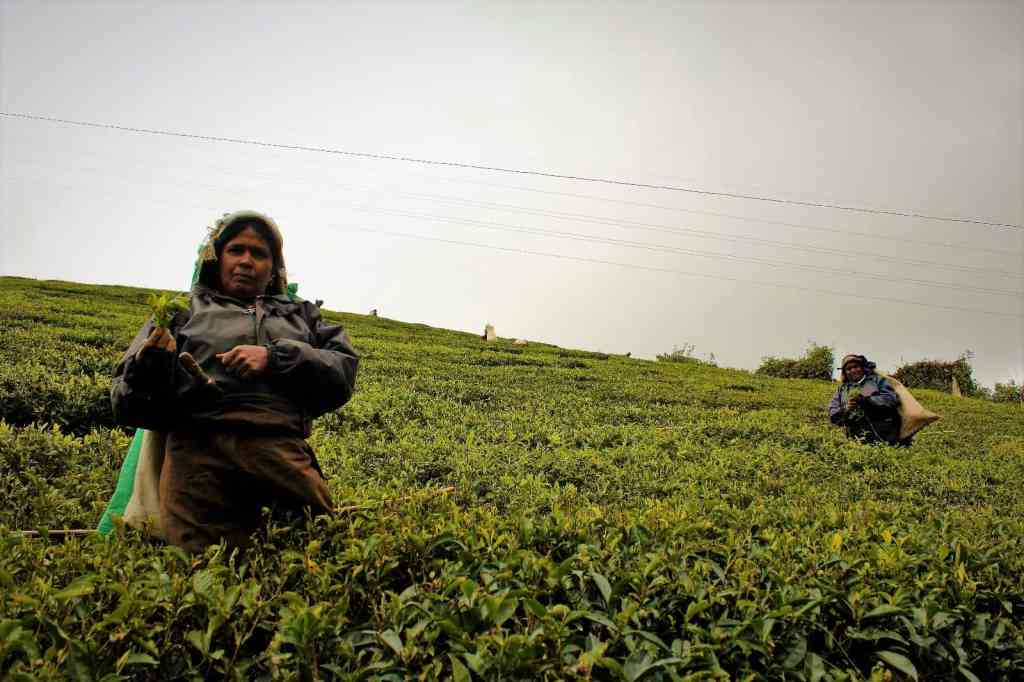 Things to do in Ella - watch ladies picking tea