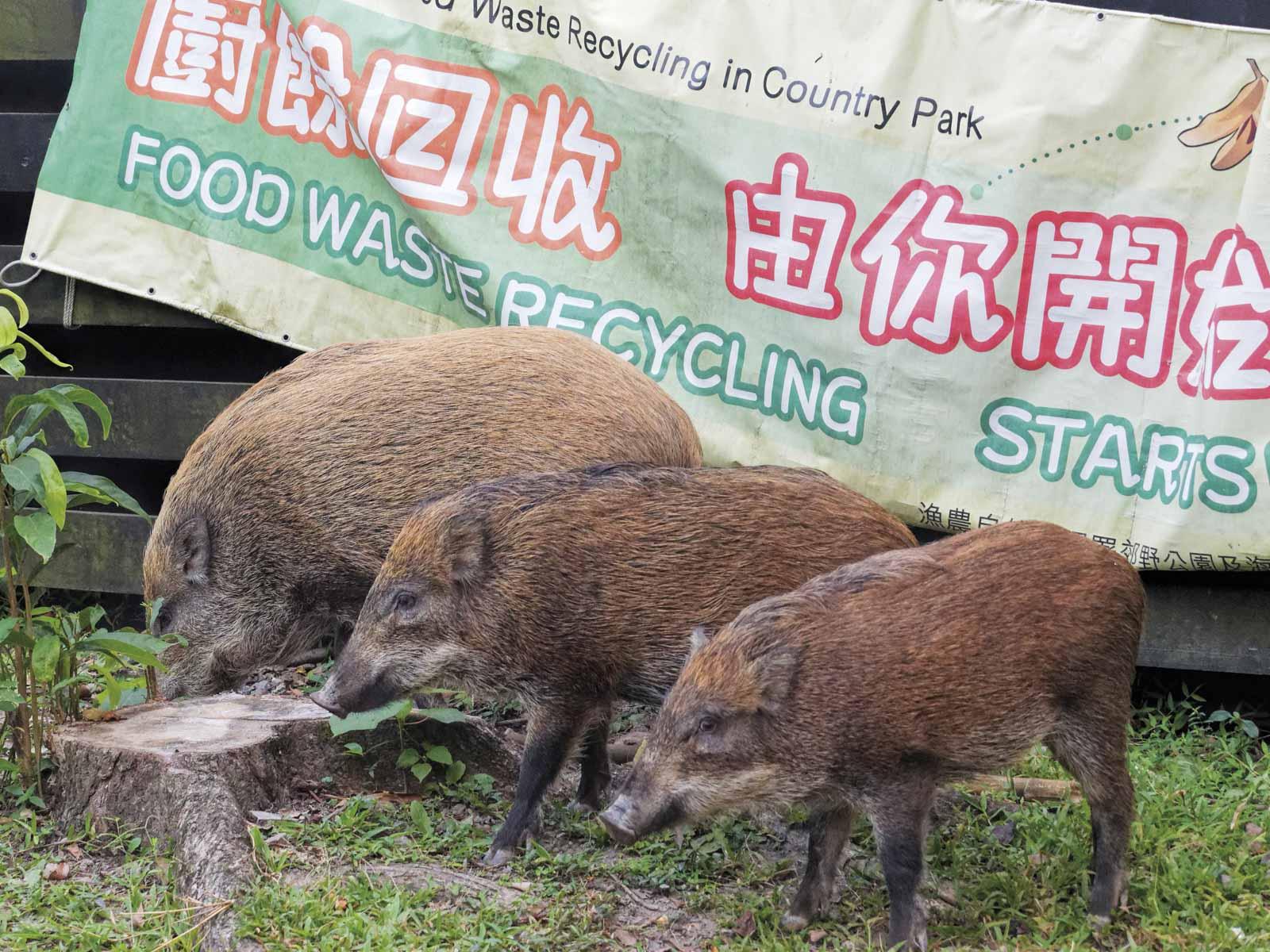 香港的野豬 - Discovery