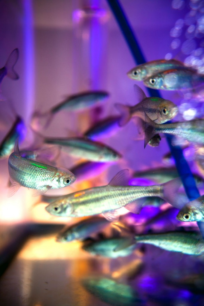 Princeton researchers found that collective intelligence is vital to certain animals' ability to evaluate and respond to their environment. Conducted on golden shiners, the research demonstrated that social animals such as schooling fish rely heavily on grouping to effectively navigate their environment. (Image by Sean Fogarty)