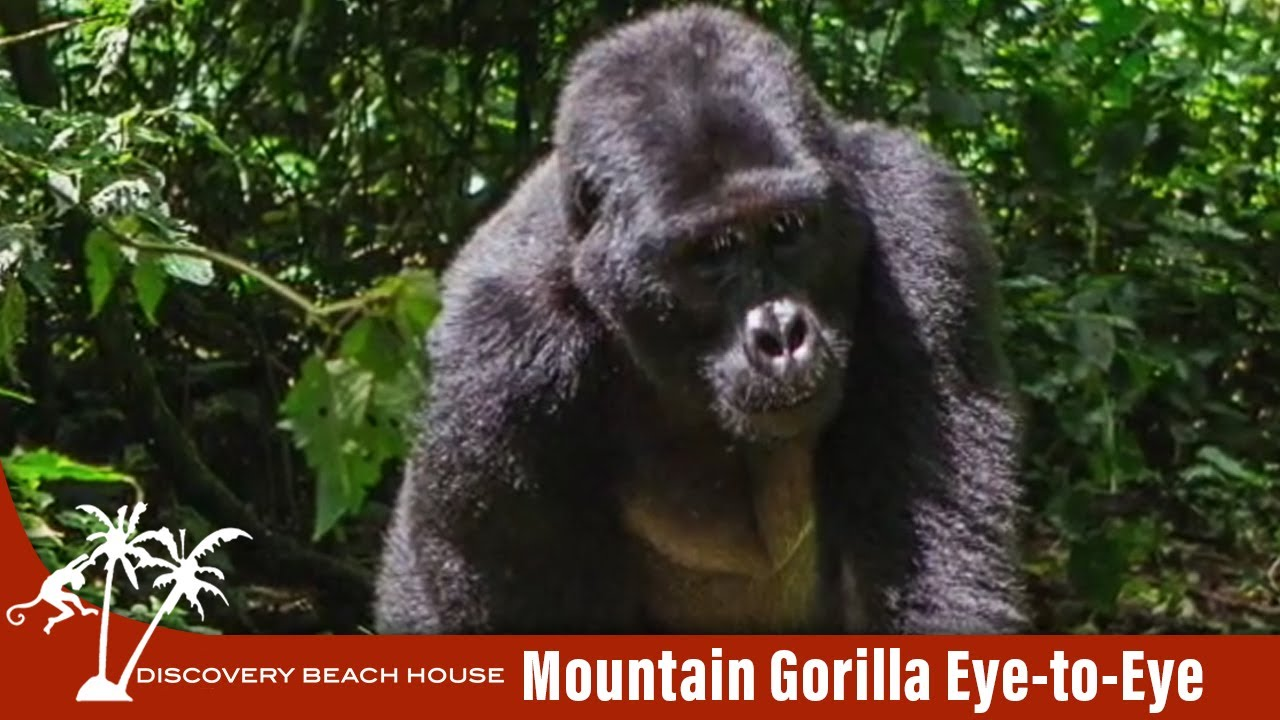 Eye to Eye with a Mountain Gorilla