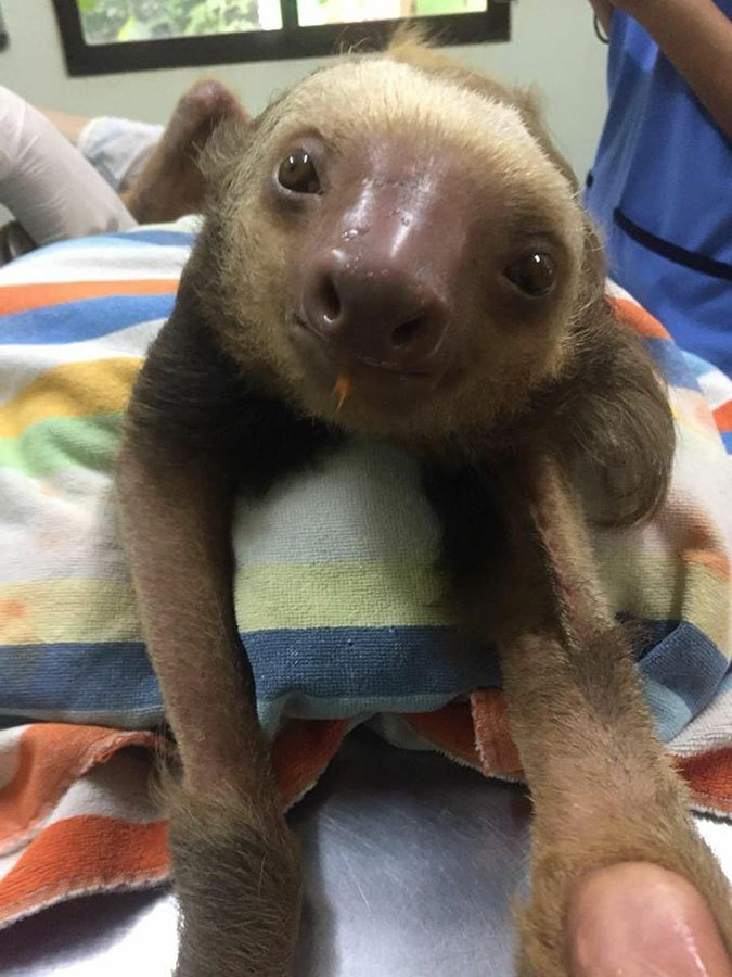 Injured sloth rushed to vet clinic