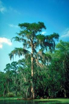 Healthy Cypress Tree