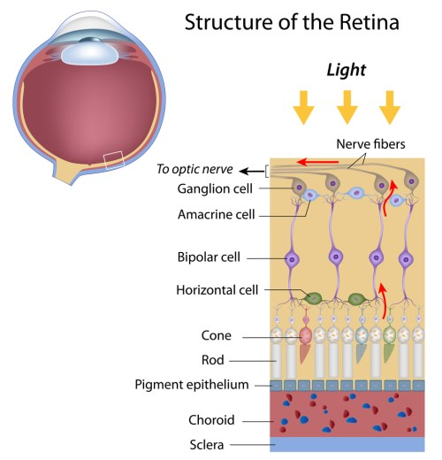 small resolution of retina and optic nerve