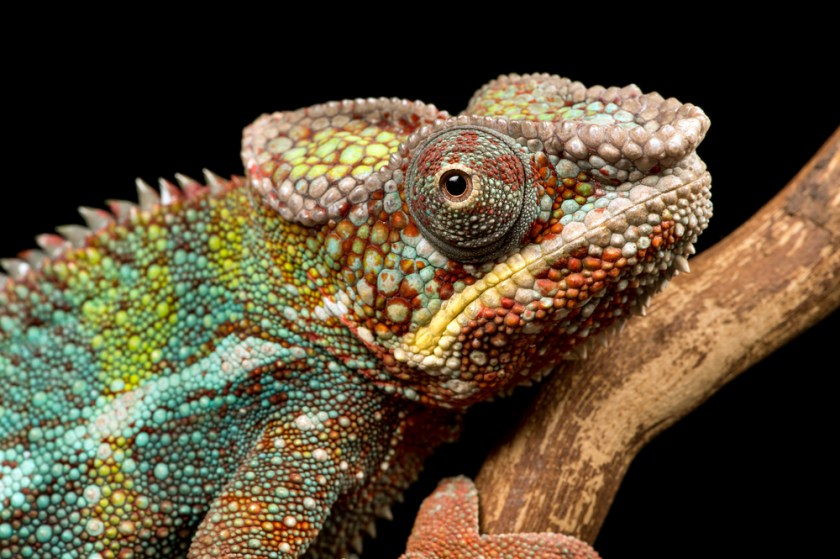 chameleon - animals with unique eyes