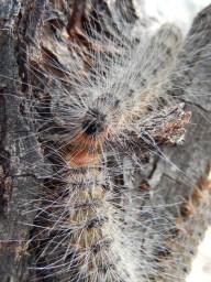 Bag moth caterpillar