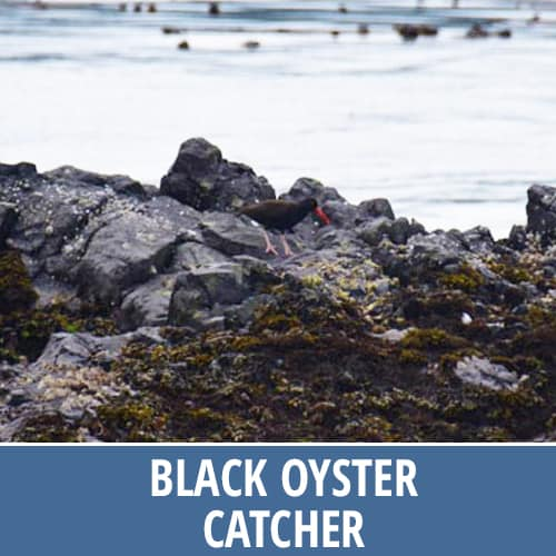 Discovery Marine Safaris - Black Oyster Catcher
