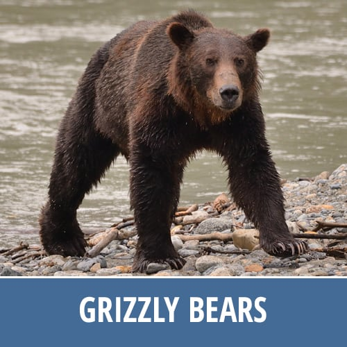 Discovery Marine Safaris - Grizzly Bears