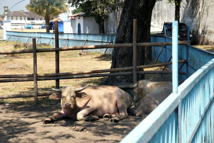things to do in Surakarta the white buffaloes