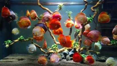 Дискусы для новичков- уход, содержание, выбор аквариума и оборудования, совместимость
