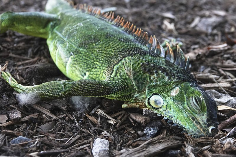 It's 'Raining' Iguanas in South Florida